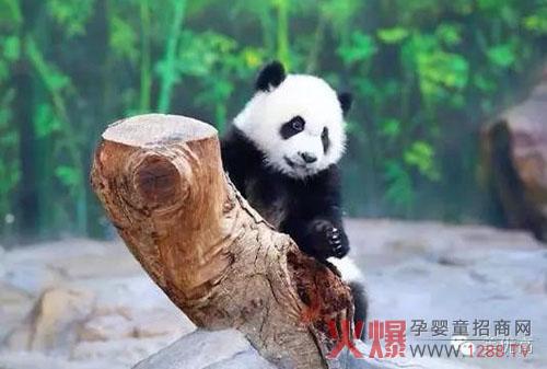 专业卖萌的大熊猫