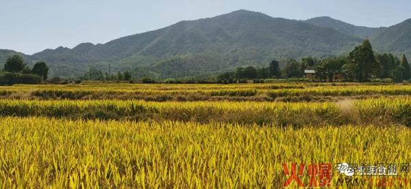 永润食品的有机大米丰收啦!